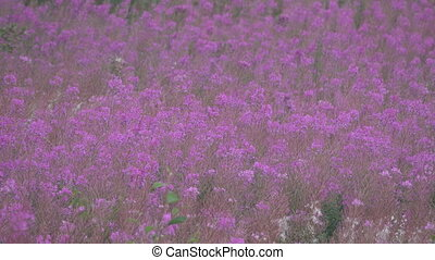 Sea of pink flowers. Continuous thickets fireweed (Chamaenérion angustifolium) in late summer produce a terrific impression and not just for supporters of LGBT