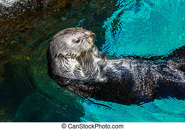 Sea Otter - Close up shot of a sea otter, swim backwards in...