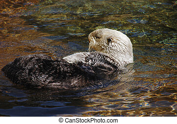 Sea otter drifting on it's side