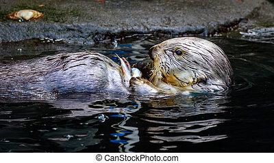 Sea Otter Feeding - A Sea Otter feeding on small chunk of...
