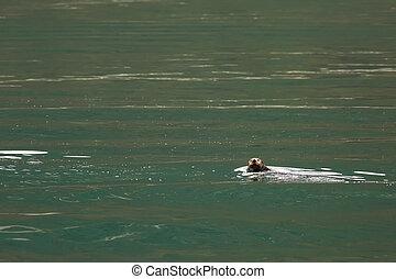 Sea otter in Pacific Ocean. Water area near Kamchatka Peninsula.