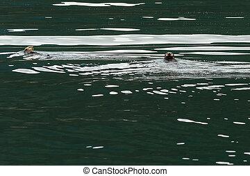 Sea otter in Pacific Ocean. Water area near Kamchatka...