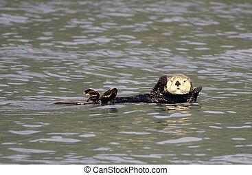 Sea otter in Resurrection Bay - Sea otter swimming in...