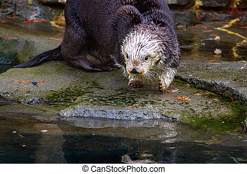 Sea Otter on land - Sea Otter plays on the river bank.