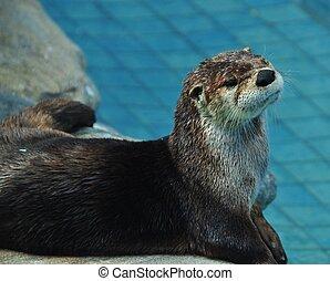 Sea otter - Florida