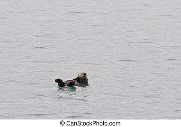 Sea otter - Wild sea otter swimming on its back in Prince...