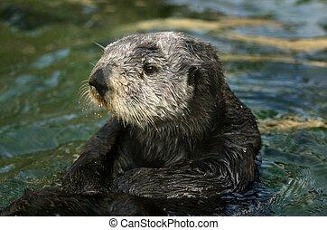 Sea Otter Portrait  - Sea otter swimming in the water