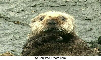 sea otter resting