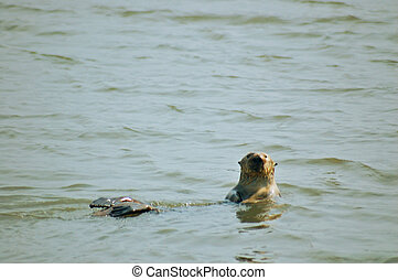 Sea Otter looking straight at me
