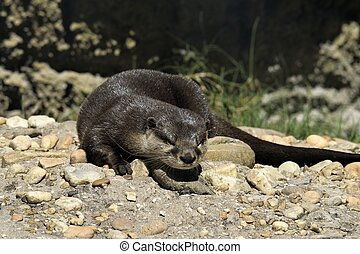 Sea Otter at animal reserve Florida, USA.
