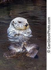 Sea Otter - Close up shot of a sea otter.