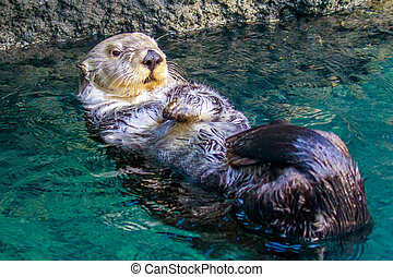 Sea Otter - Close up of a sea otter playing in the water.