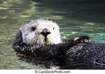 Sea Otter.   - Sea Otter.