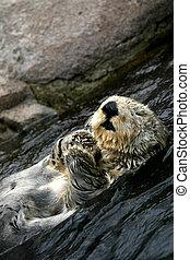 Sea Otter - Vancouver, Canada - Sea Otter - Vancouver...