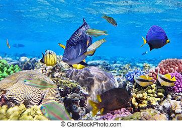 sea., pez, egipto, coral rojo