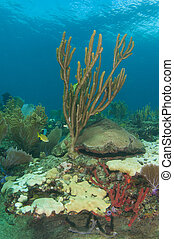 Sea Rod on a coral reef