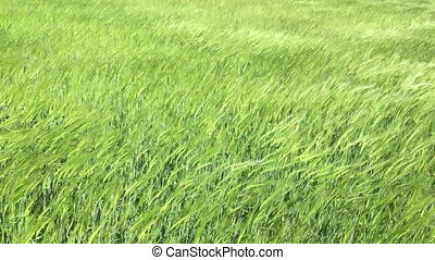 Sea rye. - Green rye sways in the wind in a good sunny day....