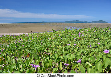 sea scape - Clean clear blue sky with the beach Ipomoea pes-...