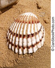 Sea shell in the sand close-up