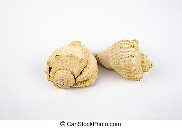 sea shell isolated on a white background in the center