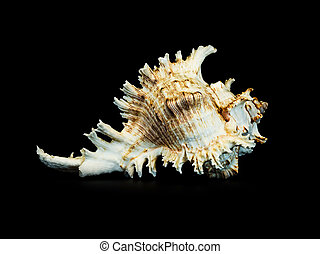 Sea shell on a black background.