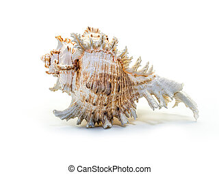 Sea shell on a white background.