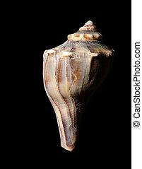 Sea shell on black
