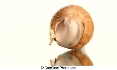 Sea shell on white, rotation, reflection, close up