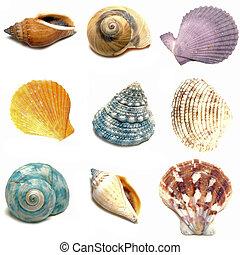 Sea shells - Assortment of sea shells individually isolated...