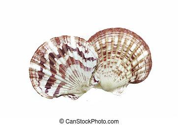 sea shells isolated on white background