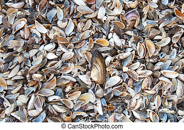 Many small sea shells, natural background