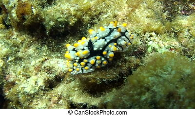 Sea slug nudibranch on seabed underwater lagoon of ocean on...