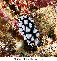 Sea slug - Pustulose wart slug (Phylidiella pustulosa) Red...