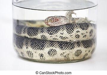 Sea snake specimen - Sea snake (<i>Hydrophiidae sp.</i>),...
