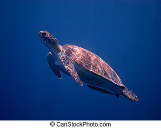 sea turtle at the surface
