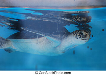 Sea Turtle Baby Swimming Under the Water's Surface
