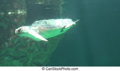 Sea Turtle Breathing Air At Water Surface
