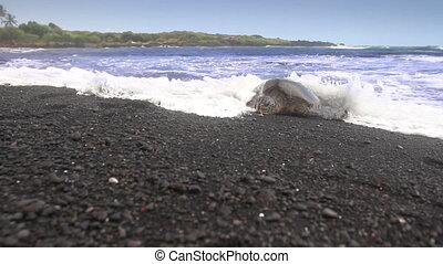 Sea Turtle Climbing Ashore
