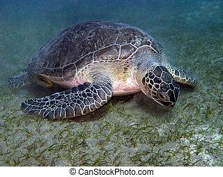 sea turtle feeding underwater - Green turtle feeding in sea...