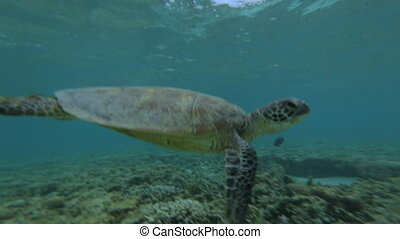 Sea Turtle Flapping Flippers, Lady Elliot Island