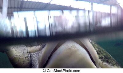 Sea turtle head in aquarium - Close up overwater shot of a...