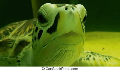 Sea turtle in Marine Aquarium stock footage video - Sea...