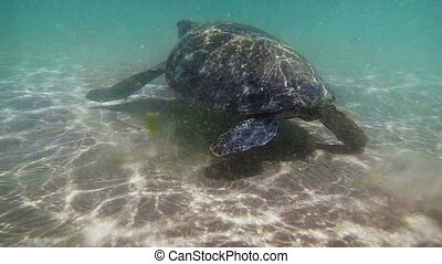 Sea turtle in the muddy water near the beach. Sri Lanka