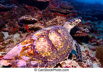 Sea Turtle on Coral Tropical Reef
