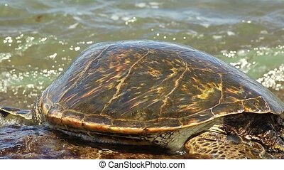 Hawaiian Sea Turtle or Green Sea Turtle rests on the reef of Laniakea Turtle Beach on Oahu island, Hawaii, United States. Chelonia mydas species