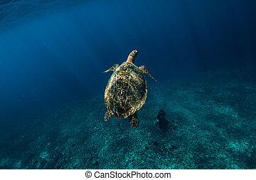 Sea turtle swim in blue ocean. Green sea turtle underwater
