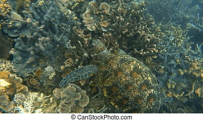 Sea turtle swimming above coral reef