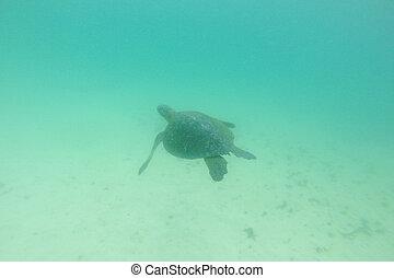 Sea turtle swimming alone underwater. Galapagos
