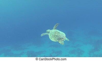 Sea turtle swimming in blue water of Red Sea. Sharm El...