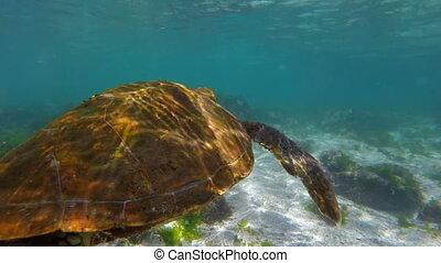 Sea turtle swimming in rock reef of galapagos